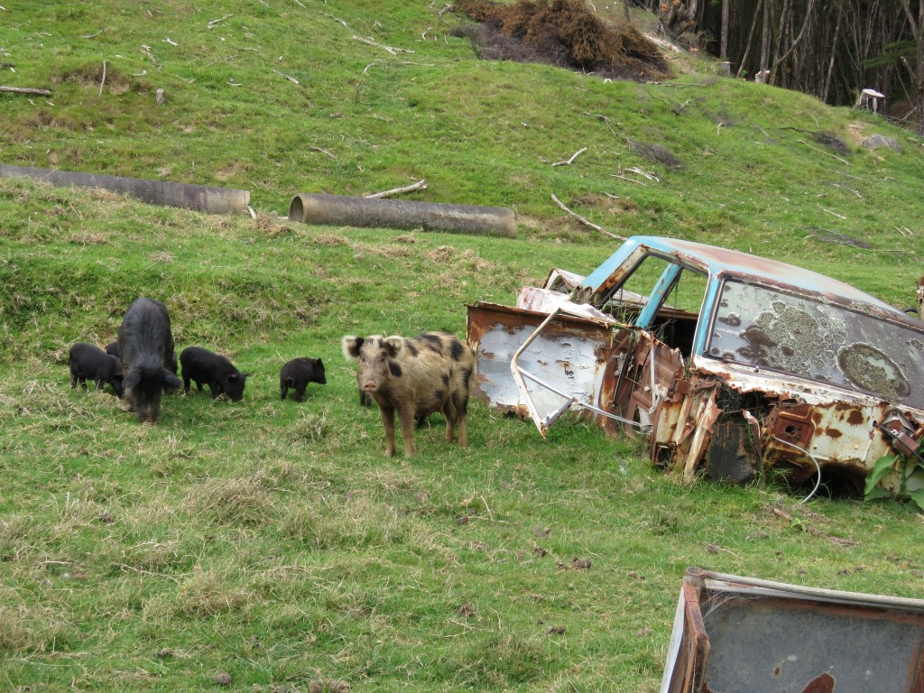 NZ: 309 Stuart and the pigs 1