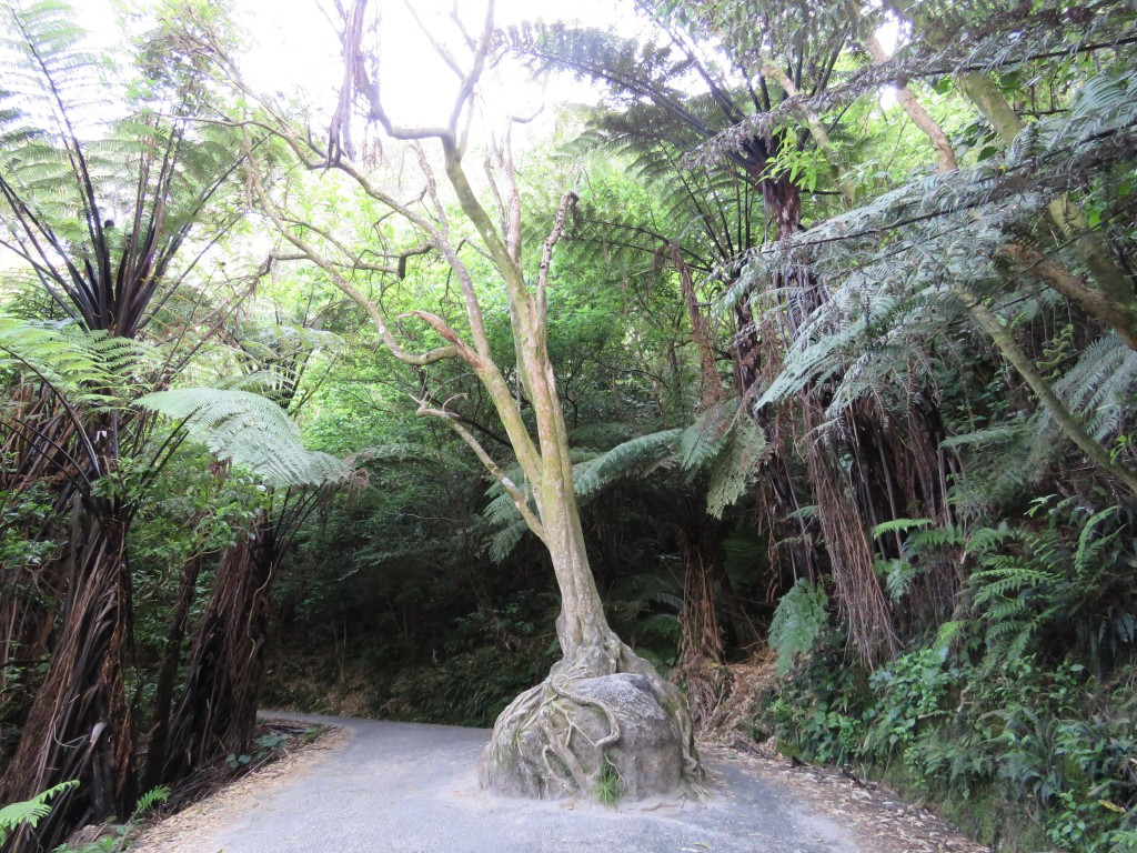 NZ: Cathedral Cove - Baum