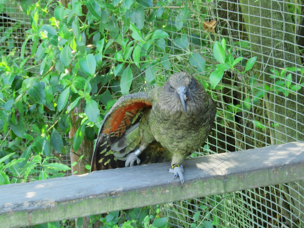 NZ: Willowbank - Kea 1