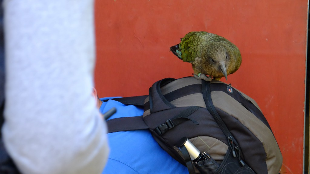 NZ: Willowbank - Kea 3