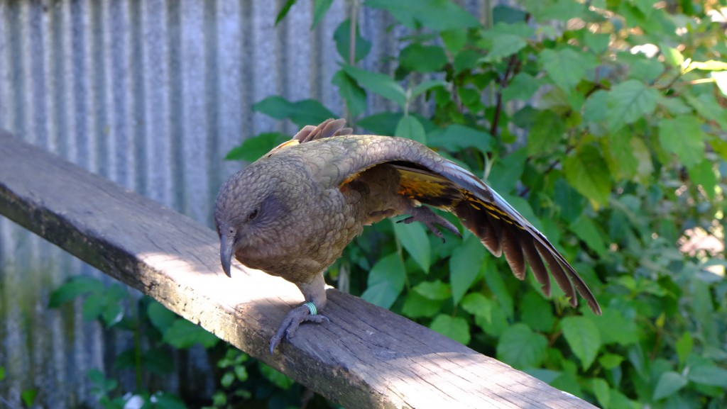 NZ: Willowbank - Kea 4