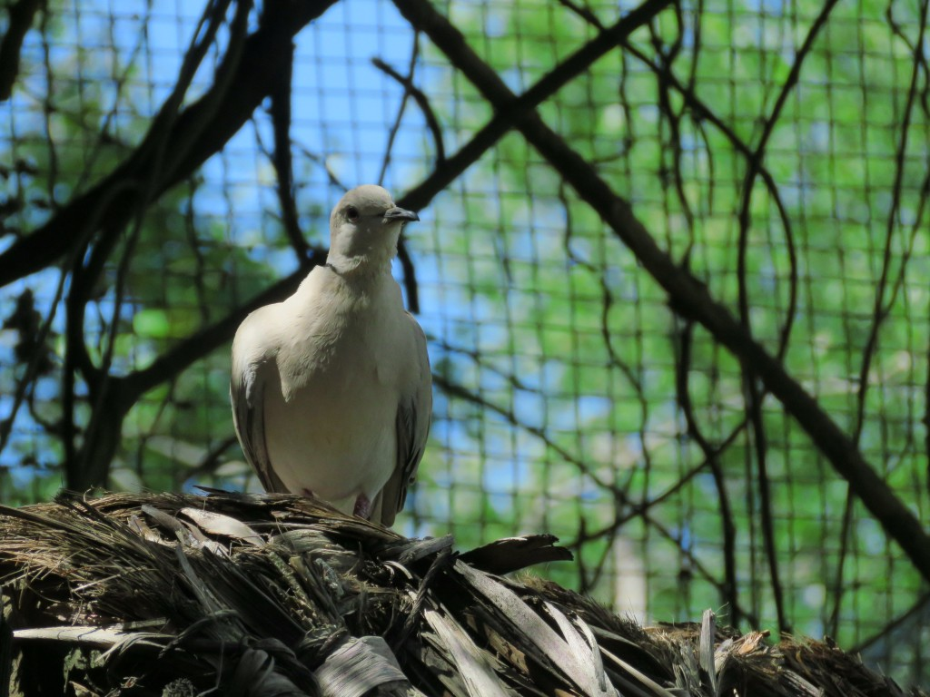 NZ: Willowbank - Barbary dove