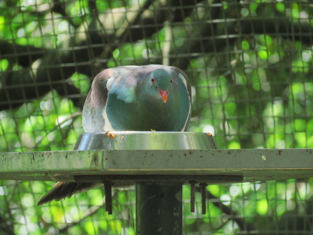 NZ: Willowbank - Kereru