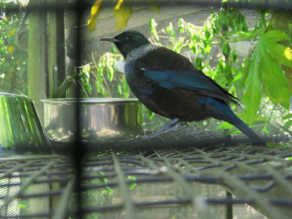 NZ: Willowbank - Tui 1