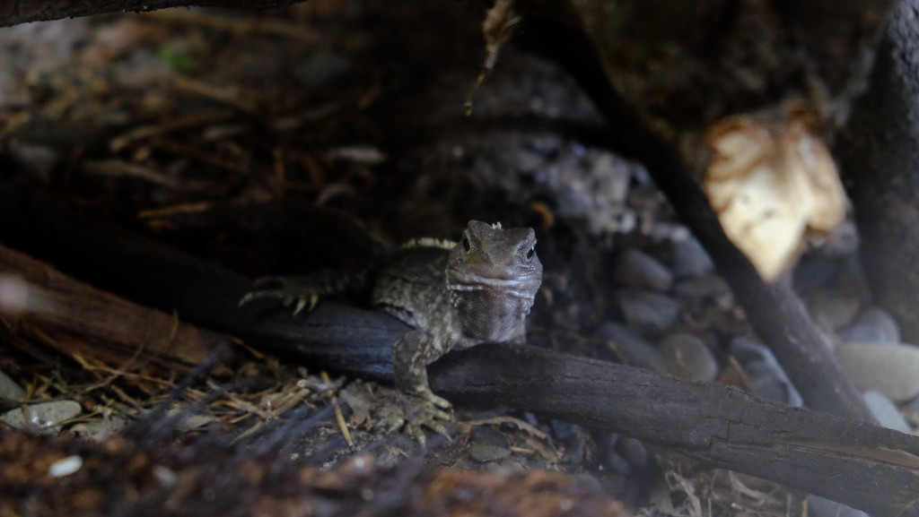 NZ: Willowbank - Tuatara