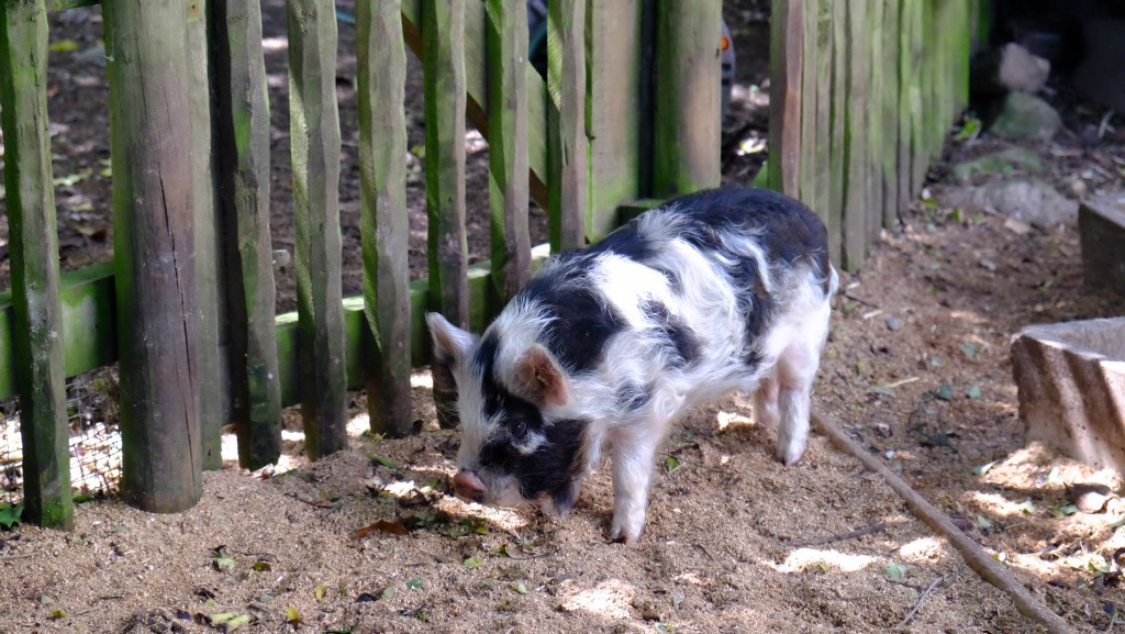 NZ: Willowbank - Kunekune-Pig