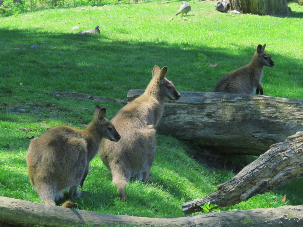 NZ: Willowbank - Wallaby 2